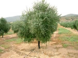 Olive Trees-Arbequina 15-20 Feet Black Fruit Zone 7