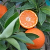 PAGE MANDARIN Orange-Citrus reticulata  Zone 8