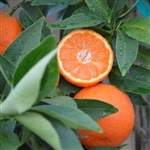 PAGE MANDARIN Orange-Citrus reticulata  Zone 9b