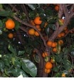 ORLANDO TANGELO TREE -HYBRID GRAPEFRUIT AND TANGERINE 12-20 feet Zone 9