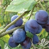 Southern Belle Plum- Prunus salicina 'Southern Belle' ZONE 5 CHILL: 250