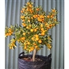 Sweet Kumquat-  Fortunella crassifolia Meiwa  Zone:  8a