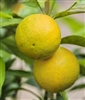 SWINGLE CITRUMELO TRIFOLIATE HYBRID(Cold Hardy Grapefruit) Zone 7-8