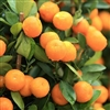 DANCY TANGERINE-Citrus reticulata Dancy Zone:  9b hardy to 30 degrees
