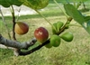 Fig Texas Everbearing Ficus carica  Zone 7-11 Chill Hrs 100