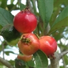 Mayhaw Genuine Giant Hardiness zone 4-9