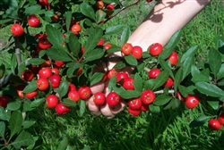 MAYHAW MASON MAYHAW TREES Zone 6-9