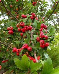 MAYHAW SUPREME MAYHAW TREES Zone 6-9