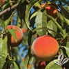 Florida Crest Peach-Prunus persica USDA Zones 8   Chill:  350 hrs