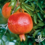 WONDERFUL POMEGRANATE-Punica granatum 'Wonderful' Chill: 150  Zone 6