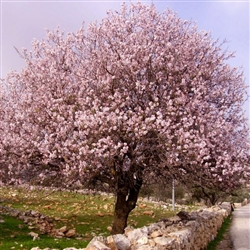 HALL'S HARDY ALMOND TREE-Prunus dulcis Zone 6a