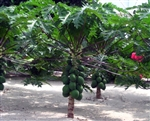 PAPAYA T.R. HOVEY (Carica) Compact Dwarf Fruiting Self-Fertile  Zone 9 Tropical