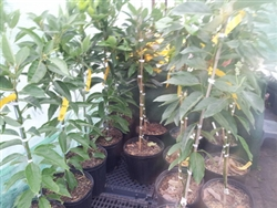 "AVOCADO FANTASTIC TREES-""FANTASTIC"" 30 feet Zone 8a"