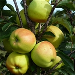 Apple Tree Yellow (Golden) Delicious- Malus domestica Chill 600 Zone 5-8  600-700 Chill Hrs
