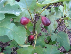FIG LSU PURPLE-Fruiting Tree Zone 8