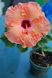 HIBISCUS ORANGE, rosa-sinensis-Tropical Zone 9+