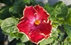 HIBISCUS SINGLE RED SATINY CRINKLED EDGED BLOOMS YELLOW PISTIL, rosa-sinensis-Tropical Zone 9+