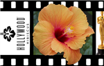 HIBISCUS SINGLE ORANGEY-YELLOW SATIN BLOOMS CENTER DARKER, rosa-sinensis-Tropical Zone 9+