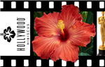 HIBISCUS SINGLE REDDISH-ORANGE FRILLY BLOOMS CENTER DARKER YELLOWISH PISTIL, rosa-sinensis-Tropical Zone 9+