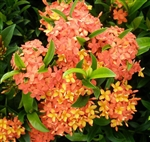IXORA DWARF CARMEN-REDDISH-ORANGE BLOOM, Ixora coccinea-Tropical Zone 9+