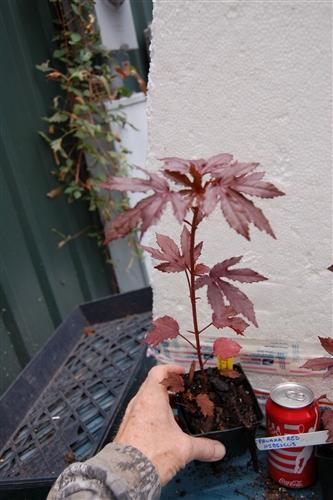 Panama Red Hibiscus Rosa Sinensis Tropical Zone 9