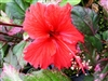 RED HOT HIBISCUS, rosa-sinensis-Tropical Zone 9+