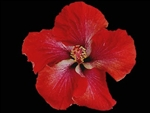 HIBISCUS 'YULTIDE' [CAJUN SERIES] REDDISH ORANGE COLORED SINGLE Tropical Zone 9+