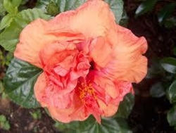 HIBISCUS PERSIMMON ORANGE-PEACH COLORED DOUBLE Tropical Zone 9+