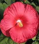 HIBISCUS LUNA RED--HIBISCUS moscheutos, Red with Whitish Center ZONE 5