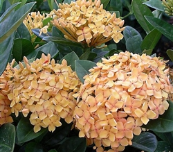 IXORA SUNSET- YELLOW CLUSTER BLOOMS, Ixora coccinea-Tropical Zone 9+