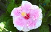 HIBISCUS C'EST BON-PINK COLOR  WITH CREAM YELLOW BORDER AND RED CENTER, rosa-sinensis-Tropical Zone 9+