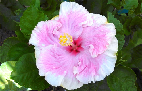 Hibiscus cest bon pink color with cream yellow border and red hibiscus cest bon pink color with cream yellow border and red center rosa sinensis tropical mightylinksfo