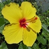 HIBISCUS FORT MYERS YELLOW-, WIDE YELLOW PETALS WITH RED CENTER rosa-sinensis-Tropical Zone 9+
