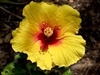 HIBISCUS YELLOW TORCH-RUFFLED YELLOW PETALS WITH BROAD RED CENTER, rosa-sinensis-Tropical Zone 9+
