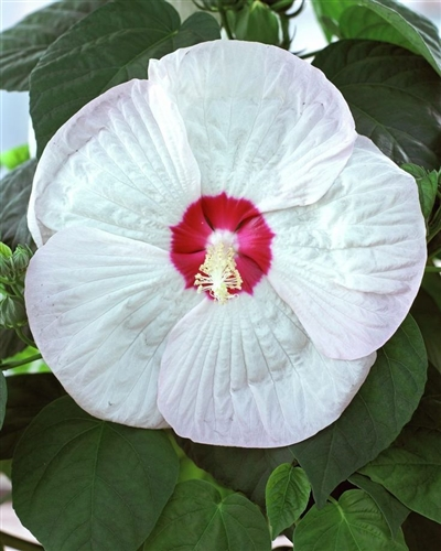 Hibiscus Luna White Hibiscus Moscheutos White With Red