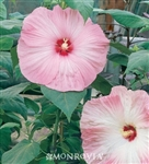 HIBISCUS DISCO BELLE PINK--HIBISCUS moscheutos, PINK & WHITE WITH RED CENTER ZONE 4