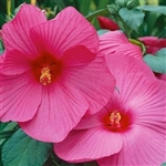 HIBISCUS LUNA ROSE--HIBISCUS moscheutos, ROSE PINK WITH RED CENTER ZONE 5