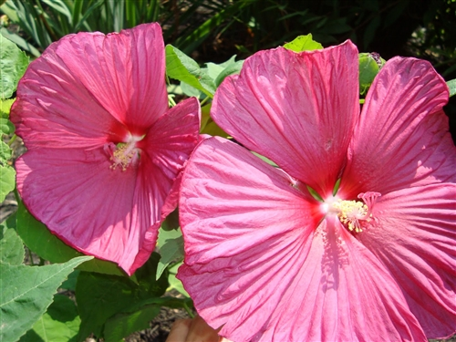 Hibiscus Luna Rose Hibiscus Moscheutos Rose Pink With Red Center