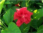 HIBISCUS DOUBLE RED, rosa-sinensis-Tropical Zone 9+