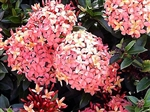 IXORA DWARF ORANGE-ORANGE CLUSTER BLOOMS, Ixora coccinea-Tropical Zone 9+