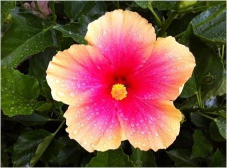 Hibiscus Edward Le Plante Hibiscus Single Pink With Pale Yellow