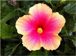HIBISCUS EDWARD LE PLANTE-SINGLE PINK WITH PALE YELLOW RUFFLED BORDER HOT PINK CENTER ZONE 9+ TROPICAL