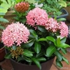 IXORA DWARF PINK-PINK CLUSTER BLOOMS, Ixora coccinea-Tropical Zone 9+