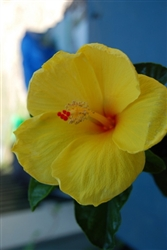 HIBISCUS JOANN, SINGLE YELLOW BLOOM Red Center, rosa-sinensis-Tropical Zone 9