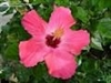 HIBISCUS PAINTED LADY SINGLE SALMON-PINK WITH DEEP RED CENTER, rosa-sinensis-Tropical Zone 9+