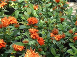 IXORA MAUI-RED ORANGE CLUSTER BLOOMS, Ixora coccinea-Tropical Zone 9+