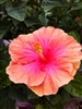 TEMPORARILY OUT OF STOCK....PINK VISTA HIBISCUS-SINGLE PINK WITH LIGHT PINKISH-ORANGE BORDER
