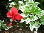 HIBISCUS SNOW QUEEN, VARIEGATED LEAVES WITH BRIGHT RED SMALLER BLOOMS, rosa-sinensis-Tropical Zone 9+
