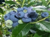 BLUEBERRY HIGHBUSH Southern Blueberry Chill hrs 400  Zone 3-9