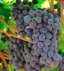 GRAPE VINE CABERNET SAUVIGNON FRENCH WINE GRAPE-Black Wine Grape  Zone 7